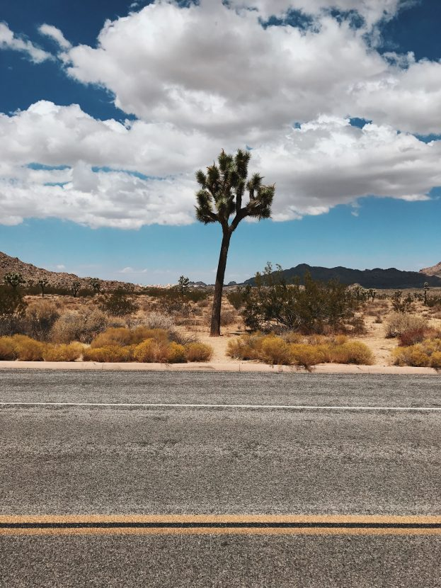 A lonesome Joshua Tree standing by itself in the desert.