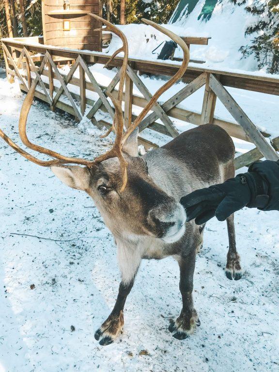 Nuuksio National Park, feeding reindeer, finland