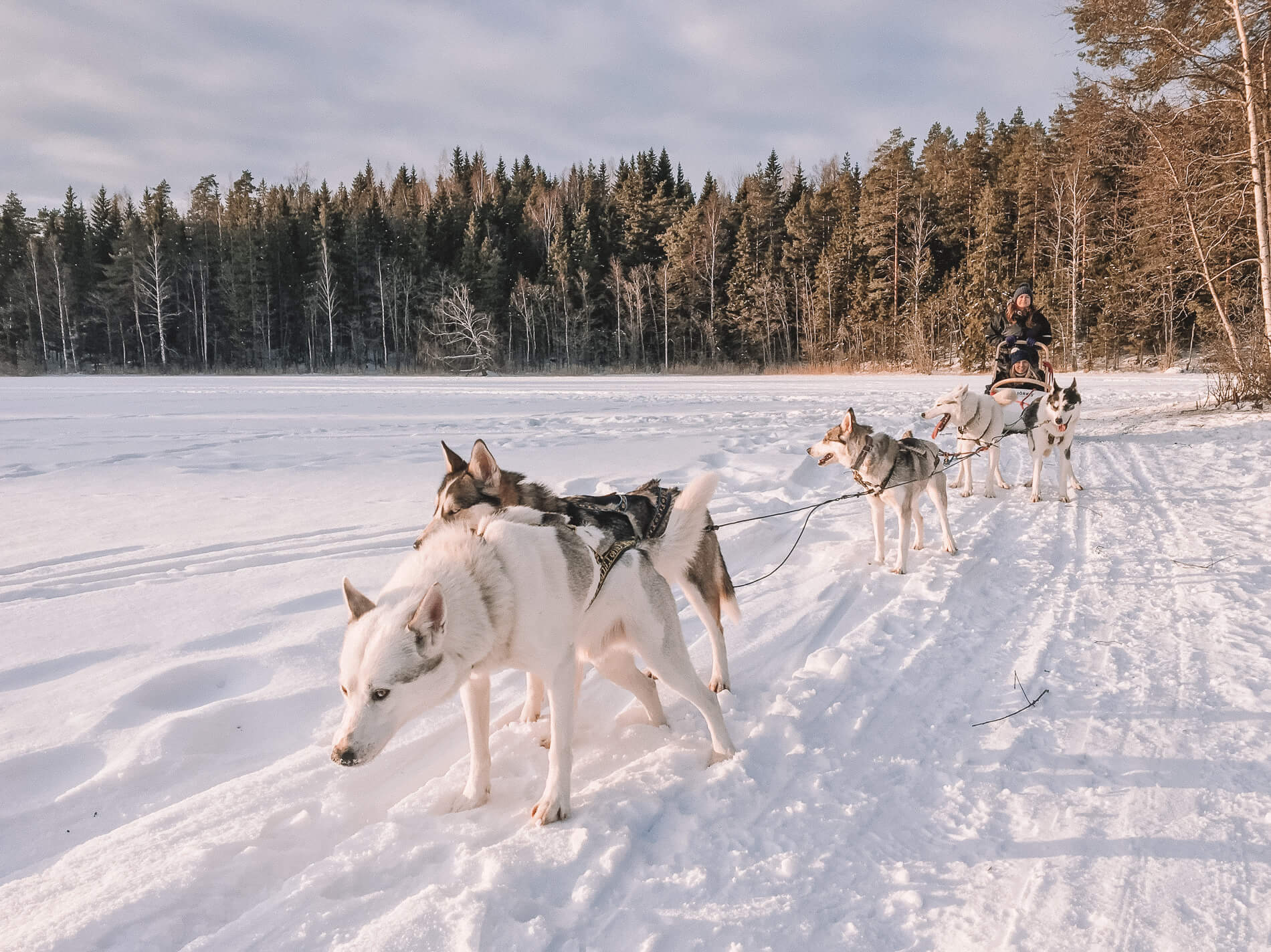 dog sledding near helsinki, lapland, husky tour, husky sledding