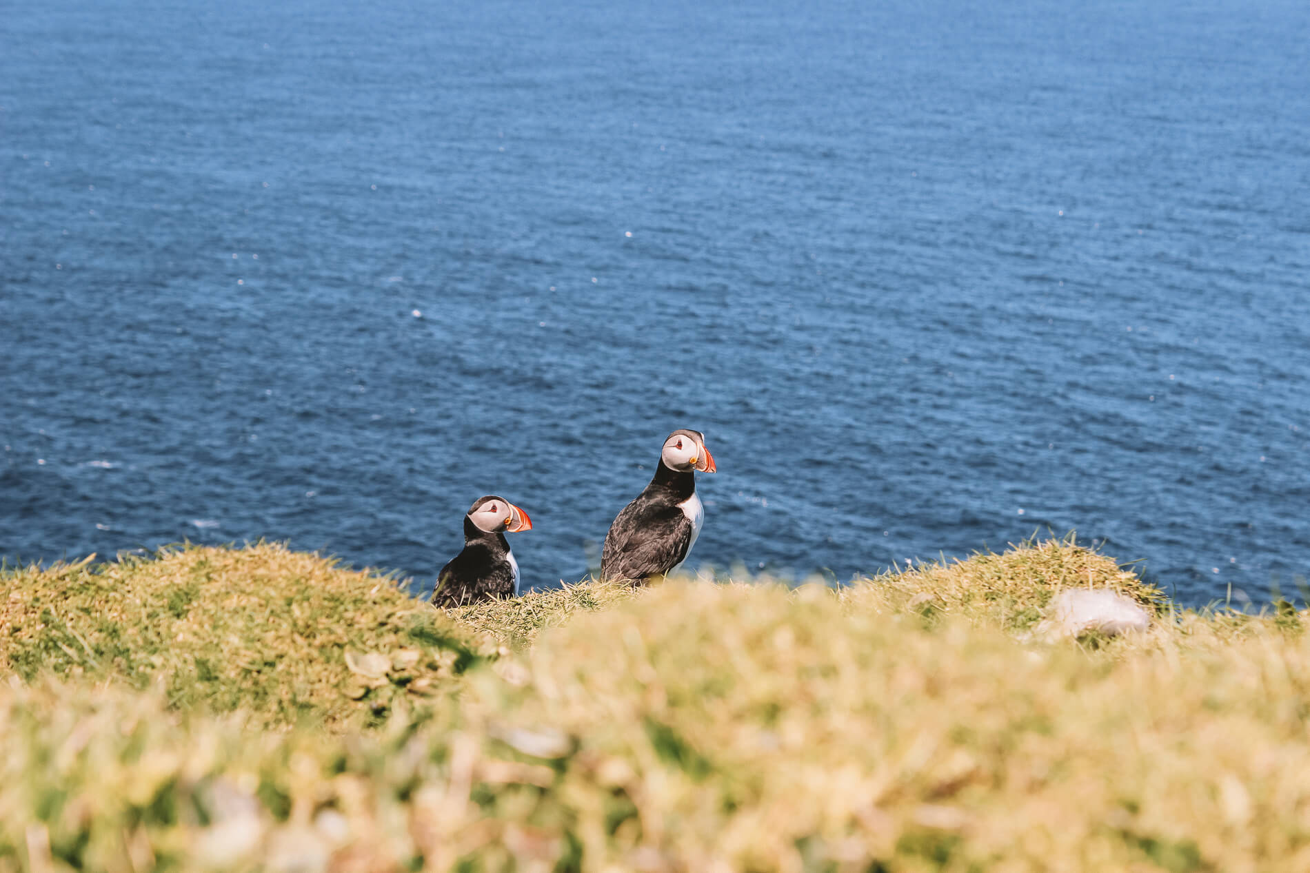 Colony of puffins Mykines Faroe Islands