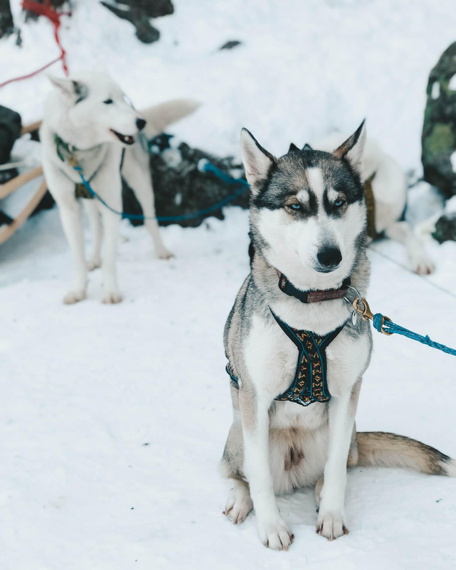 dog sledding near helsinki, lapland, husky tour, husky sledding