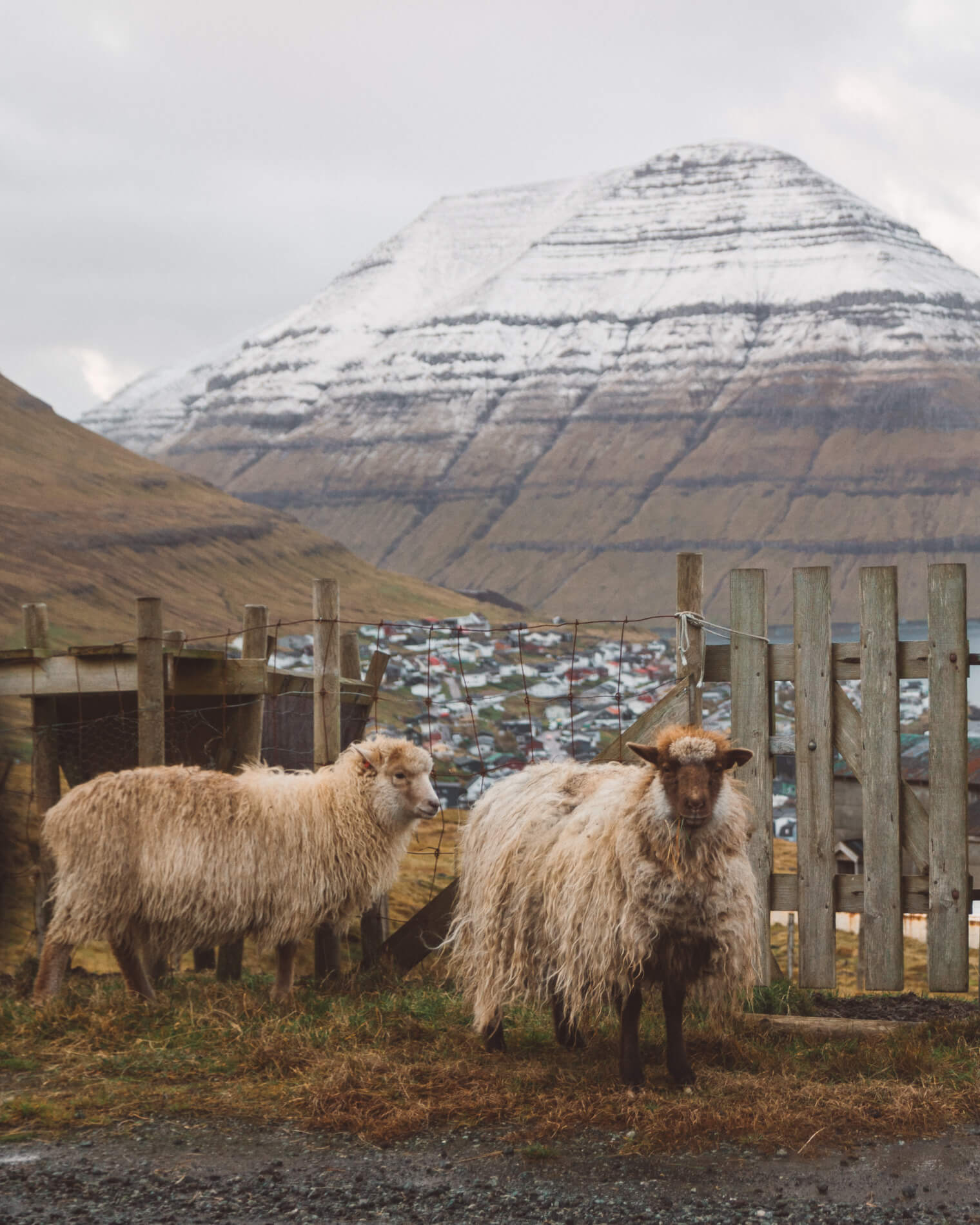 Sheep at Klaksvik, faroe island facts, visit faroe islands