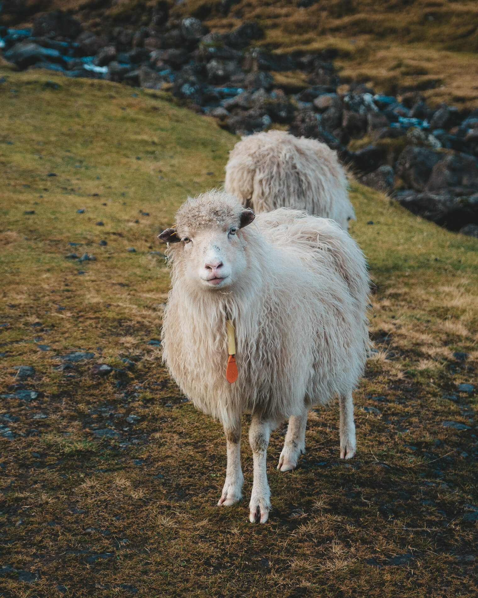 Sheep looking at camera portrait Faroe Islands, faroe island facts, visit faroe islands